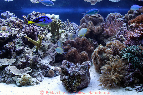 aquarium korallenriff bild mit wirbellosen nesseltieren muscheln korallen polypen im heimaquarium. Black Bedroom Furniture Sets. Home Design Ideas