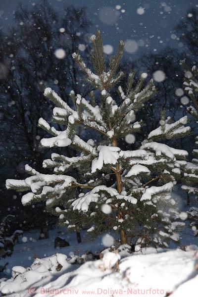 weisser tannenbaum naturfoto im schneetreiben schneeflocken vom himmel fallen in winterromantik. Black Bedroom Furniture Sets. Home Design Ideas