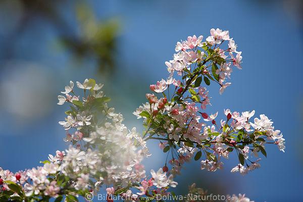 Spring Entdeckung Nein Kalender Hintergrundbilder: Apfelblüte In Frühling Fotografie, Rosa-weiß Obstbaum