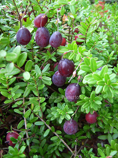 moosbeere cranberry fr chte foto vaccinium macrocarpon. Black Bedroom Furniture Sets. Home Design Ideas