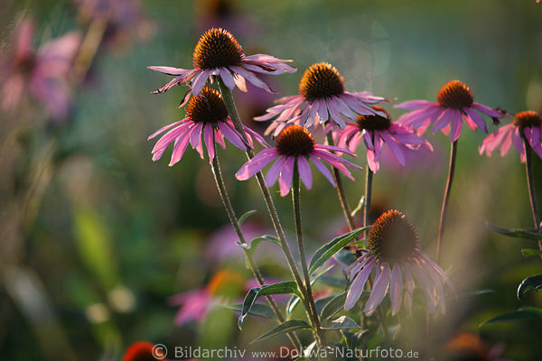 echinacea purpurea fotos scheinsonnenhut leuchtstern roter sonnenhut heilkr uter fotografie. Black Bedroom Furniture Sets. Home Design Ideas