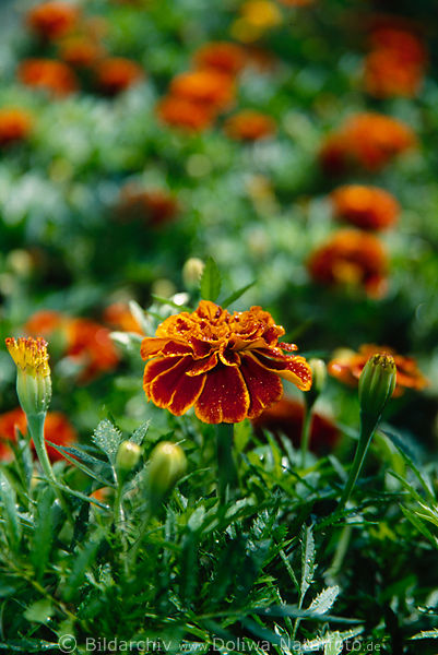 tagetes patula orange rot bl te red marietta foto gartenbeete zahlreiche blumen aksamitki. Black Bedroom Furniture Sets. Home Design Ideas