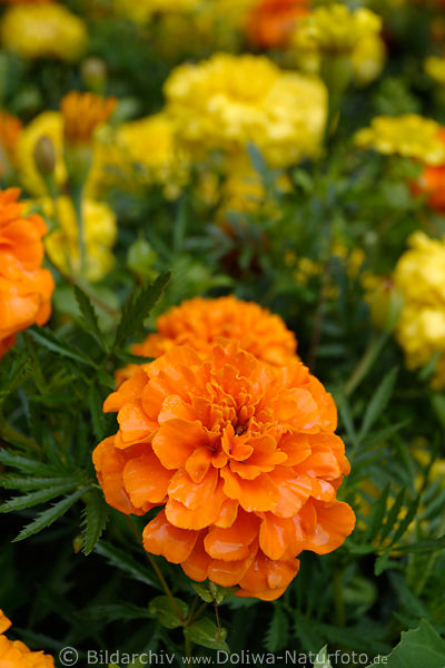 tagetes orange bl te foto rothell blume bl hende gartenblume orangebl te in florafotografie. Black Bedroom Furniture Sets. Home Design Ideas