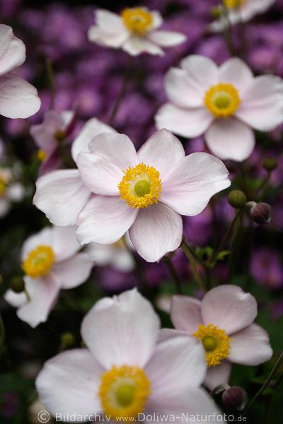 japanische windr schen gartenblumen photo anemone japonica bl ten vor violetten bl mchen. Black Bedroom Furniture Sets. Home Design Ideas