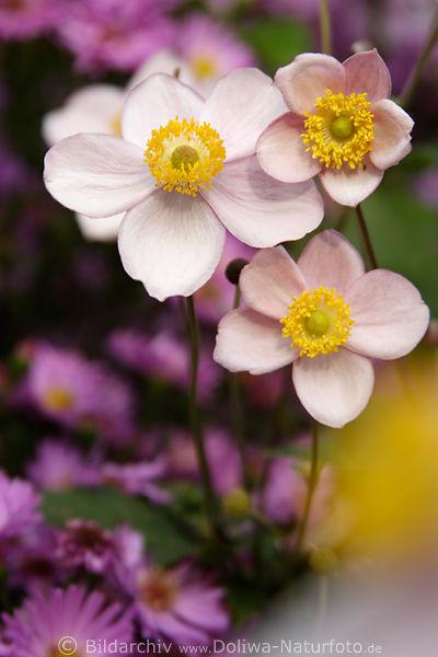 japanische windr schen trio photo anemone japonica bl ten. Black Bedroom Furniture Sets. Home Design Ideas