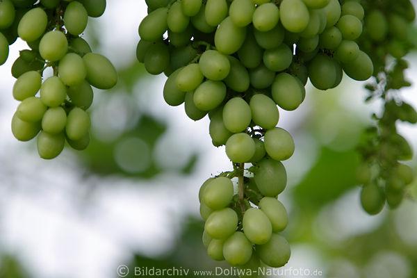 Bilder Blaue Weintrauben ~ Trauben Blaue Weinrebe Trauben Grün Trauben Weintrauben Weinrebe