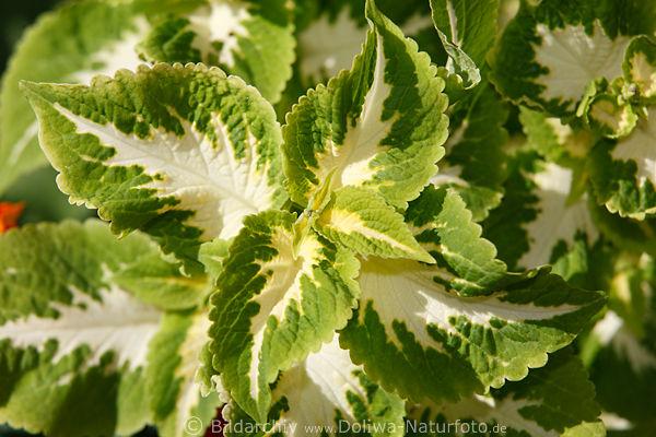 Brennnessel weiss gr n urtica art bild zweifarbige dekopflanze im garten deko brennnessel - Herbstblatter deko ...