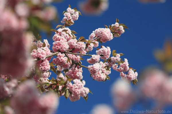 nelkenkirschen fotografie prunus serrulata rosarot farbenzauber kirschbaum bl tenf lle in fr hling. Black Bedroom Furniture Sets. Home Design Ideas