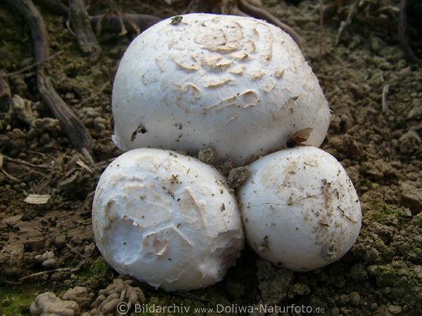 champignon trio in bild agaricus campestris fungus photo. Black Bedroom Furniture Sets. Home Design Ideas