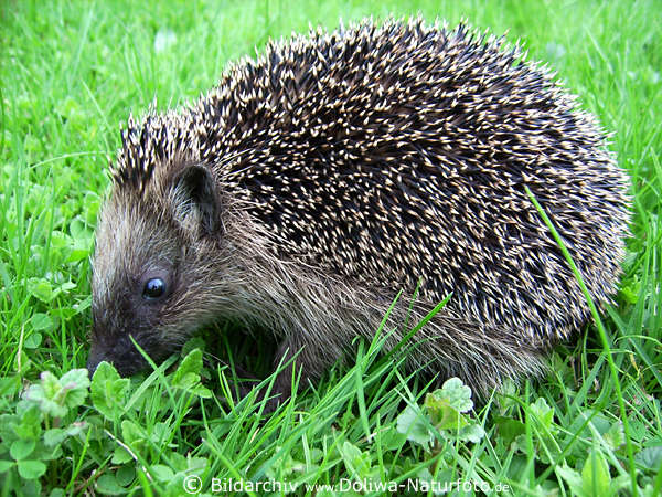 igel erinaceus europaeus stacheltier foto niedliches insektenfresser im gras schn ffeln nach. Black Bedroom Furniture Sets. Home Design Ideas