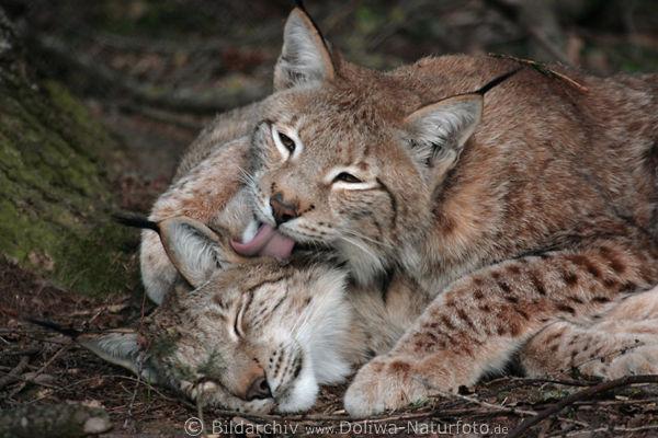 Foto Poster luchse zärtlichkeiten bild luchs paar felix lynx beim schlafen kuscheln und ohren ablecken