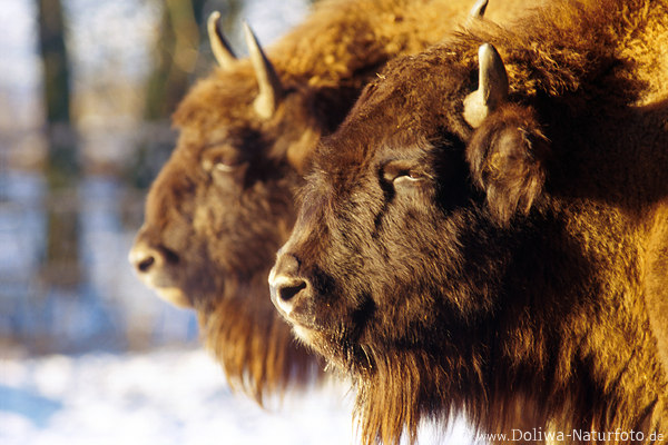 bison paar foto amerikanischer b ffel als fototip von profi bisons abbild im kadr wisent. Black Bedroom Furniture Sets. Home Design Ideas