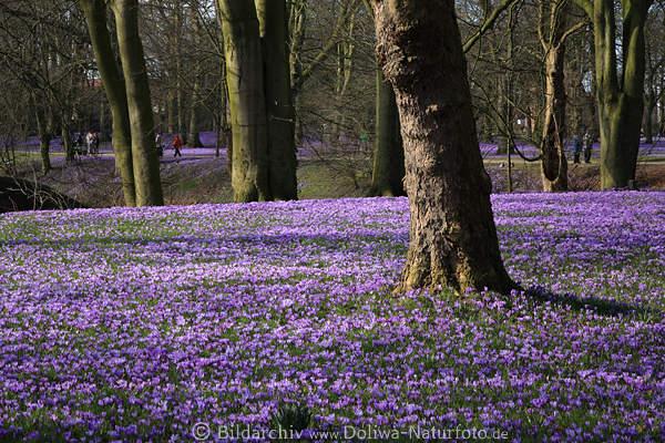 husumer fr hling bl tenpracht landschaft der krokusse lila blumenfeld bild b ume in park. Black Bedroom Furniture Sets. Home Design Ideas