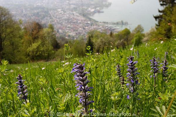 bregenzerwald bergwiese mit wildblumen naturwiese im gr nen fr hling mit bregenz bodenseeblick. Black Bedroom Furniture Sets. Home Design Ideas