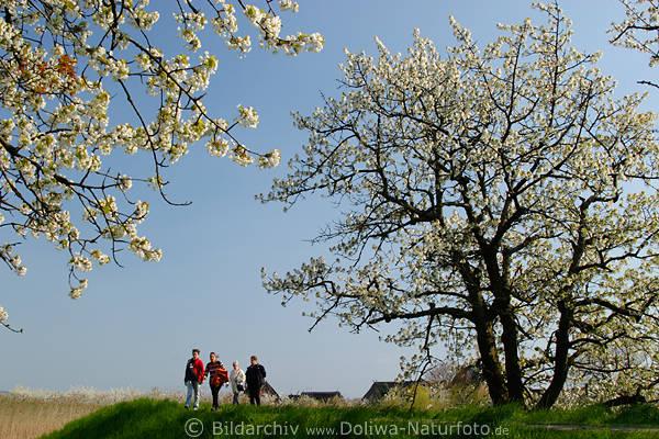 Altes Land Spaziergänger bei Kirschblüte in Königreich