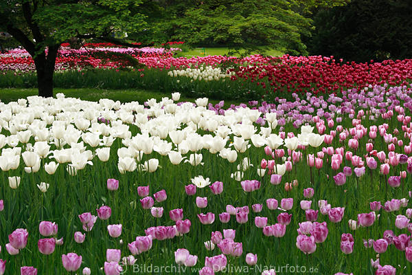tulpen bl tenwellen im garten landschaftsbild wei e lila. Black Bedroom Furniture Sets. Home Design Ideas