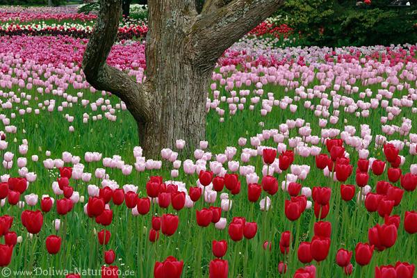 Tulpen Im Garten Pflanzen ? Bitmoon.info Tulpen Im Garten Pflanzen