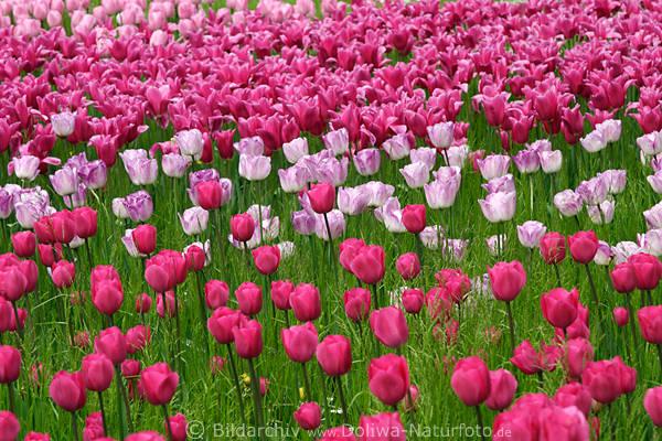 Tulpenfeld Frühlingsblüten Foto rosaweiss lila hell blühendes Blumenfeld dicht wachsen