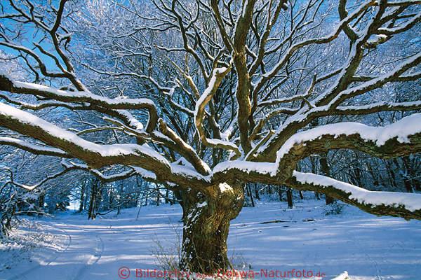alte eiche foto eichenbaum im schnee sonnenschein. Black Bedroom Furniture Sets. Home Design Ideas