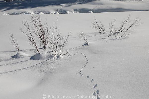 tierspuren um str ucher verschneite zweige in schnee. Black Bedroom Furniture Sets. Home Design Ideas