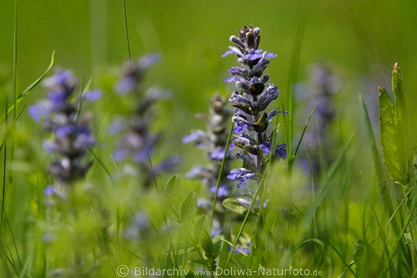 ajuga reptans kriechender g nsel fr hlingsbl te in gras wachsen blau wildblume naturfoto. Black Bedroom Furniture Sets. Home Design Ideas
