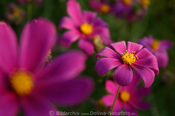 cosmos schmuckk rbchen photo gartenblumen lila rote bl ten. Black Bedroom Furniture Sets. Home Design Ideas
