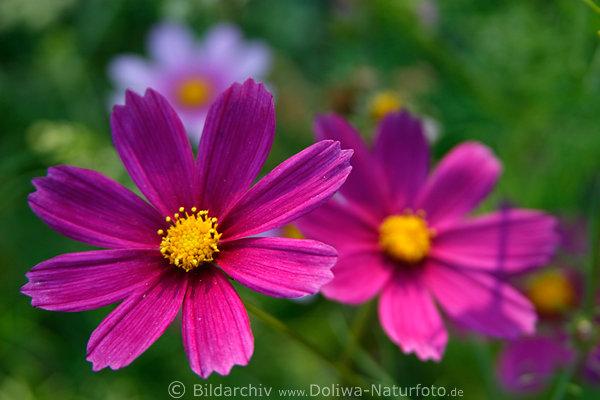 garten blumen lila, cosmos blüten fotos: schwarze kosmee doppeltgefiederte, Design ideen