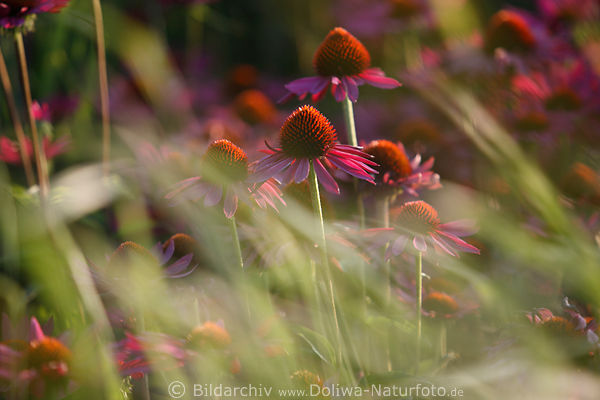 echinacea purpurea heilkr uter bl tenfoto in gr ser. Black Bedroom Furniture Sets. Home Design Ideas