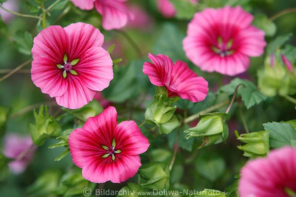 winden blumenfotos winde convolvulus bilder purpur bl ten gartenblumen florafoto. Black Bedroom Furniture Sets. Home Design Ideas