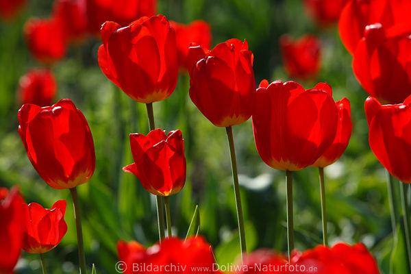 knallige rot gr n farbkontraste sch ner rottulpenblumen bild gartenpracht in sonne gegenlicht. Black Bedroom Furniture Sets. Home Design Ideas