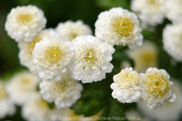 chrysanthemen gartenblumen weissgelb chrysanthemum parthenium wei gelbe margeriten bl ten. Black Bedroom Furniture Sets. Home Design Ideas