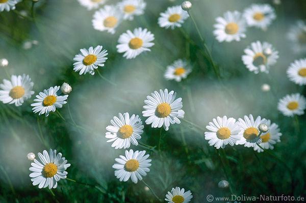 chrysanthemum fotos margerite romantik spring flower. Black Bedroom Furniture Sets. Home Design Ideas