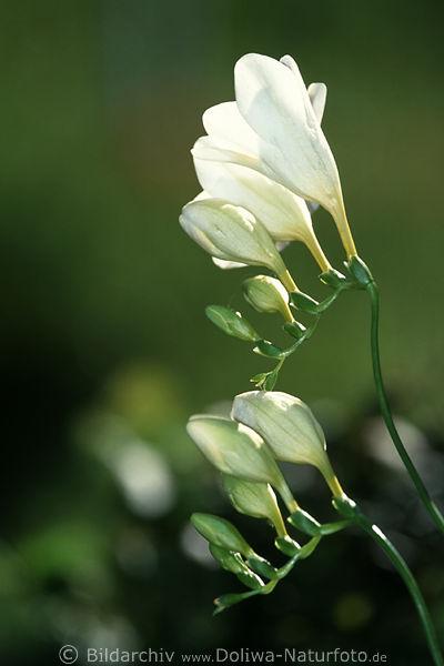 Freesie Schwertlilie zarte Weißblüten im Gegenlicht Foto weiß ...