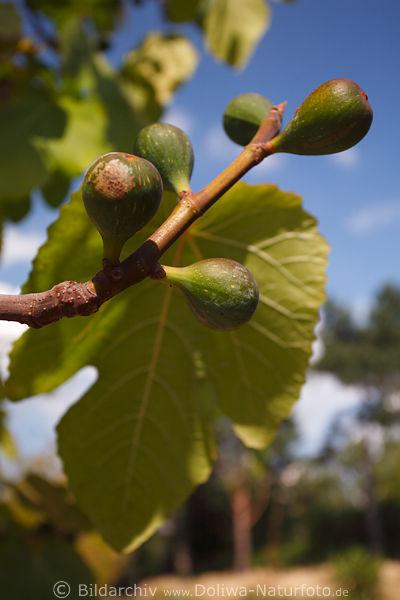 feigen fr chte foto am feigenbaum ficus carica fig tree. Black Bedroom Furniture Sets. Home Design Ideas