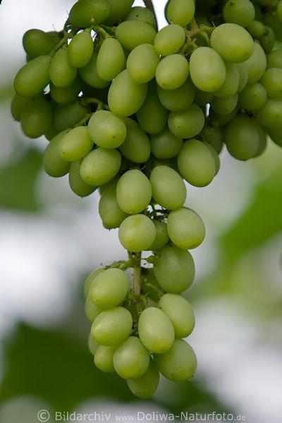 weintrauben foto weinrebe vitis vinifera gr ne trauben rebe herbstsorte. Black Bedroom Furniture Sets. Home Design Ideas