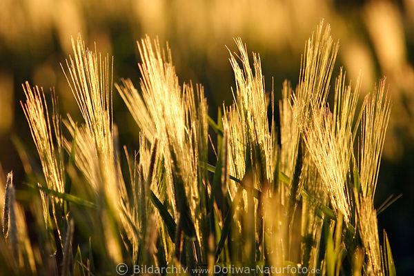 getreide kornfeld granen im gegenlicht abendsonne