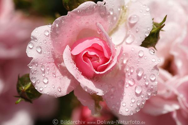rosenbl te in tautropfen foto rosa climber nasse rosawei. Black Bedroom Furniture Sets. Home Design Ideas