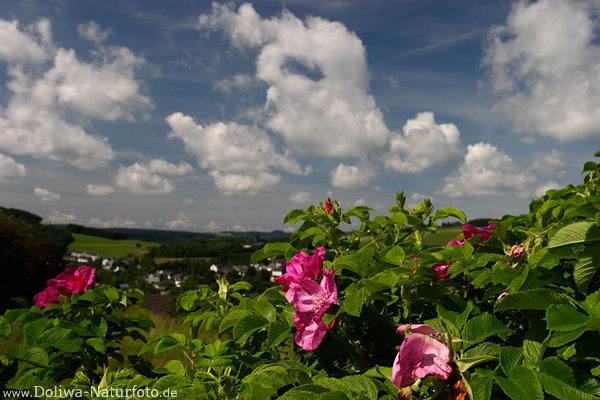 rosen bilder kartoffel rose rosa rugosa lila wilde bl ten himmels wolken landschaftsfotos. Black Bedroom Furniture Sets. Home Design Ideas