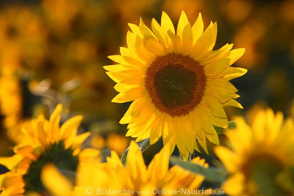 Sonnenblumenfeld Fotos in Gegenlicht runde Gelbbüte ...