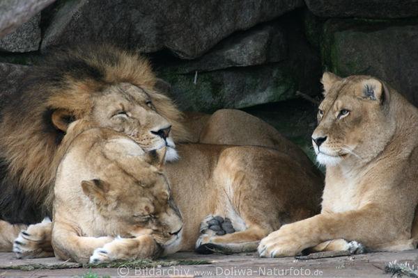 Löwen Panthera leo Fotos, Löwenfamilie beim Schlafen und ...