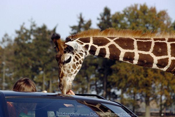 giraffen bilder giraffa camelopardalis lustige tierfotos gro tier portr ts tierverhalten infos. Black Bedroom Furniture Sets. Home Design Ideas